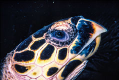 Green Turtle. Close up of the head when resting behind a ledge, in the Caribbean Sea,  shot in Venezuela Stock Images