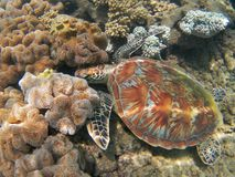 Green turtle among colorful corals royalty free stock image