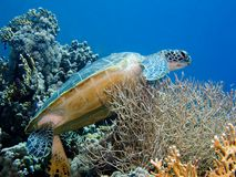 Green Turtle on coral Stock Image