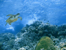 Green turtle and coral reef Royalty Free Stock Images
