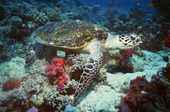 Green Turtle on coral reef Royalty Free Stock Photos
