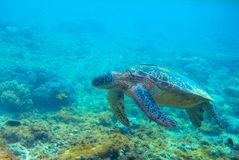 Green turtle in coral reef. Exotic marine turtle underwater photo. Oceanic reptile in wild nature. Summer vacation trip