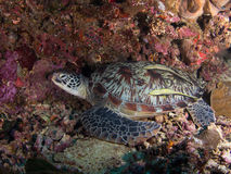 Green turtle on a coral reef Stock Photo