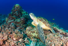Green Turtle on a coral reef Stock Photography