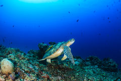 Green Turtle on a coral reef Stock Image