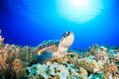 Green Turtle on a dark coral reef. Green Turtle with sunbeams on a tropical coral reef stock photo