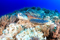 Green Turtle on a dark coral reef Stock Photos