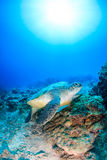 Green turtle on a dead coral reef. With a sunburst behind Stock Photography