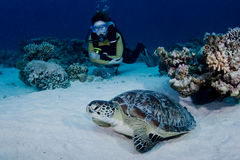 Green Turtle and Diver Royalty Free Stock Images