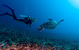 Green turtle and diver, Lombok, Indonesia. Swimming green turtle (Chelonia mydas) and diver, Gili mano, Lombok, Indonesia stock photo