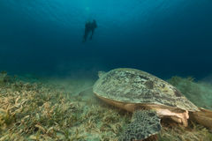 Green turtle and divers in the Red Sea. Stock Image