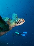Green Turtle & Divers. Wide-angle close-up portrait of a Green Turtle with divers in the blue background stock photo