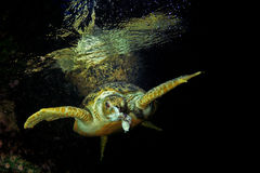Green Turtle eating fish Stock Photos
