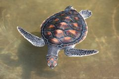 Green turtle farm and swimming on water pond - hawksbill sea turtle little stock image