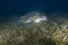 Green turtle feeding Stock Photography