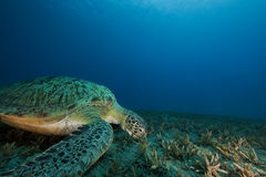 Green turtle feeding on seagrass Royalty Free Stock Photography