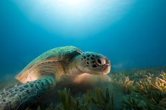 Green turtle feeding on seagrass Royalty Free Stock Images