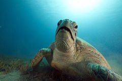 Green turtle feeding on seagrass Royalty Free Stock Image