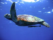 Green turtle in flight. Photo of endangered green sea turtle Royalty Free Stock Photo