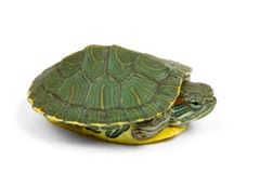 Green turtle. Funny green turtle on parade or walking around  on a white background Stock Photo