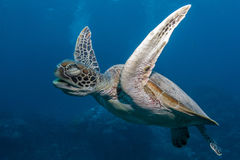 Green Turtle. Gliding with eyes closed royalty free stock photos