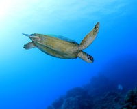 Green turtle,great barrier reef,cairns,australia Royalty Free Stock Image