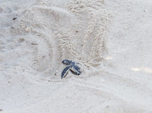 Green turtle hatching Royalty Free Stock Photos