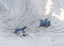 Green turtle hatching. Small green sea turtles (Chelonia mydas), also known as black (sea) turtles hatching and leaving their nest on Kutani beach in Tanzania stock images