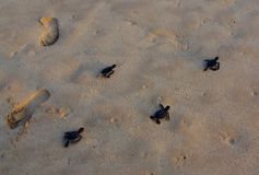 Green Turtle Hatchlings and Human Footprints Royalty Free Stock Photos