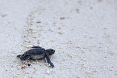 Green Turtle Hatchlings stock photos