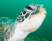 Green Turtle Head Royalty Free Stock Photography