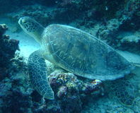 Green Turtle, House Reef, Kurumathi Maldives Stock Photo