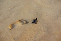Green Turtle and Human Footprint Royalty Free Stock Images