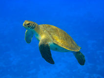 Green Turtle I Royalty Free Stock Photography