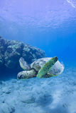 Green turtle. I was shot in the Big Island Stock Images