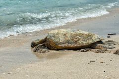 Green Turtle at Kahaluu Beach Park Royalty Free Stock Photos