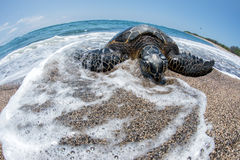 Green Turtle at Kahaluu Beach Park. Green Turtle while relaxing on sandy beach in big island in Hawaii Royalty Free Stock Images