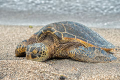 Green Turtle at Kahaluu Beach Park. Green Turtle while relaxing on sandy beach in big island in Hawaii Royalty Free Stock Image
