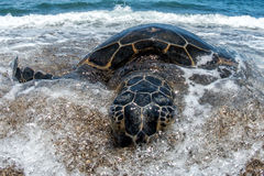 Green Turtle at Kahaluu Beach Park. Green Turtle while relaxing on sandy beach in big island in Hawaii Stock Images