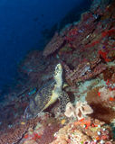 Green turtle laying on coral seabed Maldives Stock Images