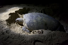 Green turtle laying eggs on beach at night Royalty Free Stock Image