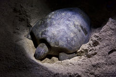 Green turtle laying eggs on beach at night Stock Photography