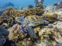 Green turtle in the ocean. Green turtle lying on the corals in the blue ocean stock photos