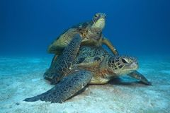 Green turtle matting Stock Photo