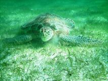Green turtle. Mexique stock photo