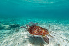 Green turtle in nature. Of Caribbean sea Royalty Free Stock Photography