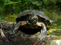 Green turtle. A green turtle near a lake Royalty Free Stock Photos