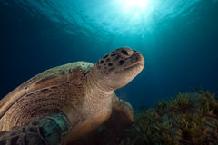 Green turtle and ocean. Royalty Free Stock Photography