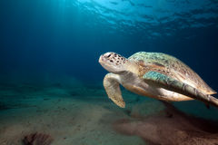 Green turtle and ocean. Stock Images