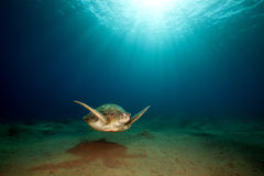 Green turtle and ocean. Royalty Free Stock Photos